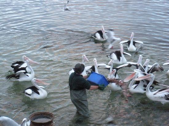 Wanderers Rest of Kangaroo Island: I pellican