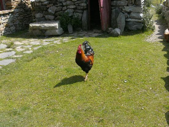 Dan O'Hara's Homestead Farm: Cock-O-The Walk with the Henhouse in the background