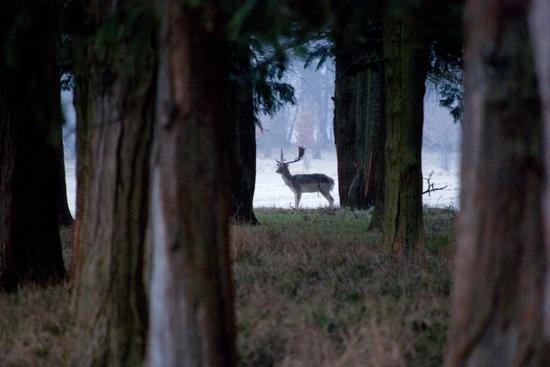 Phoenix Park: deer