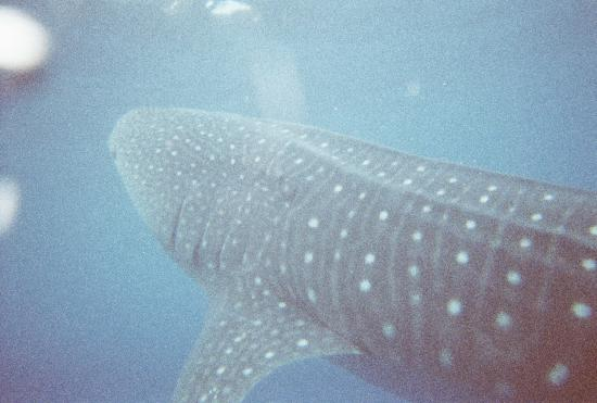 Isla Mujeres, Mexico: Whale Sharks!