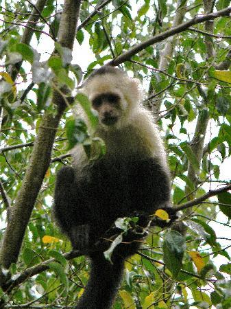 Alajuela, Kosta Rika: Capuchin monkey at Zoo Ave