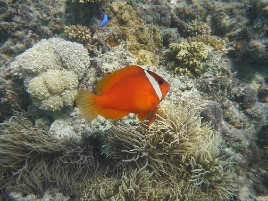 Nanuya Lailai Island, Fiji: Soooo many Nemos!