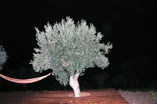Cantar do Grilo: olive tree