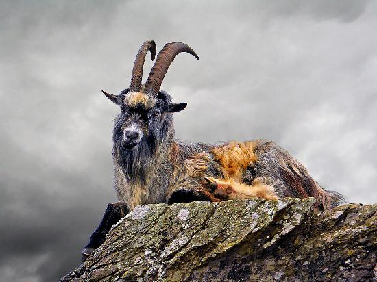 Lynton, UK: Goat in Valley of the rocks
