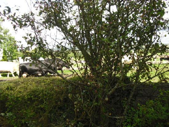 Rosdarrig Bed & Breakfast: Cows in the field....view from the room