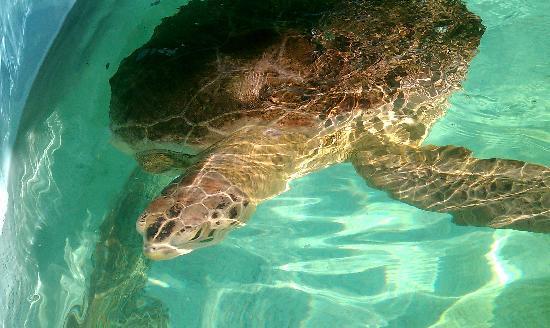 Sea Turtle, Inc.: rescued turtle at Sea Turtle, Inc