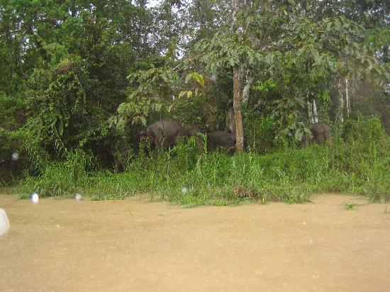 Kinabatangan Riverside Lodge: Watching pgymy elephants in the rain