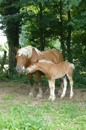 Ferme de Sainte Marie : One of the Cannelle family's 40 Comtois horse with foal.