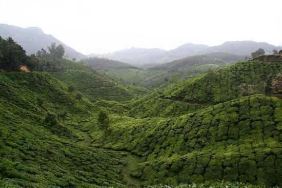 Camp Noel : Tea plantations near resort
