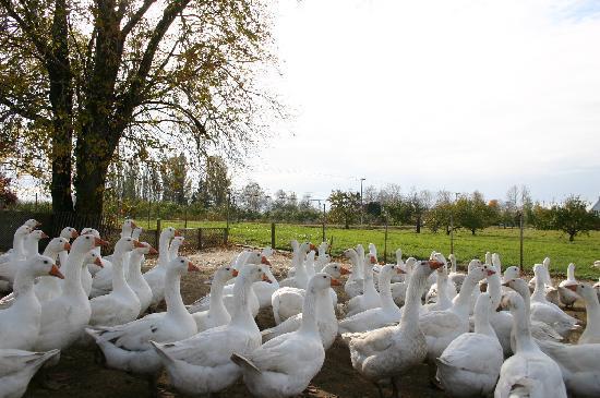 Au goût d'autrefois : Des oies, canards, faisans et dindes sauvages élevées dans le respect de leur bien-être