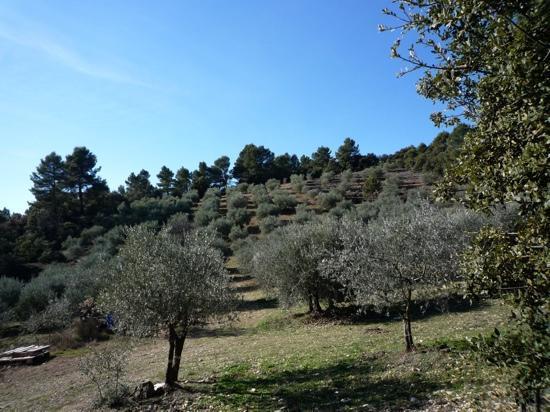 Greoux les Bains, França: les oliviers sous le soleil de Greoux