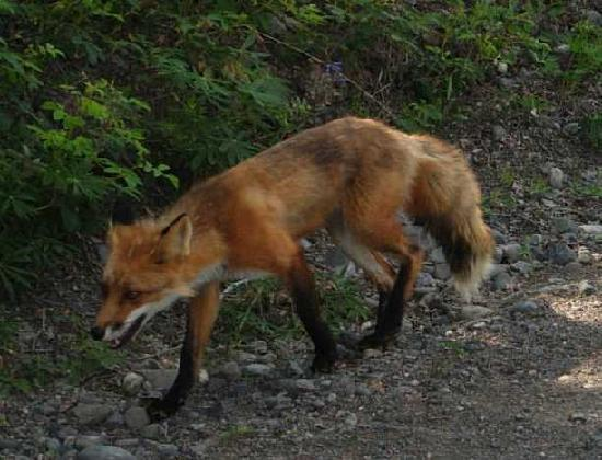 Tolsona Wilderness Campground: A Fox in the campground