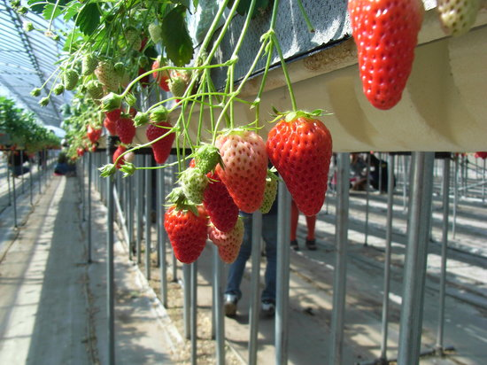 Ina, Japan: イチゴ狩りは高設栽培