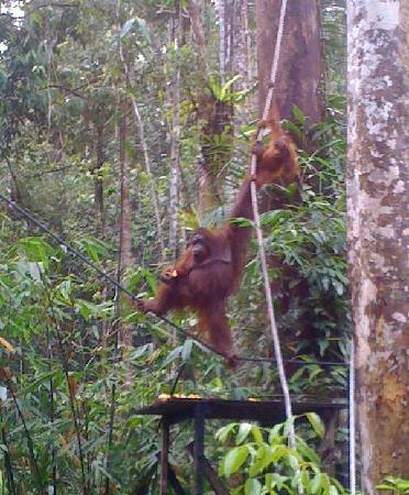 Wo Jia Lodge: Orangutans at Semenggoh Wildlife Centre