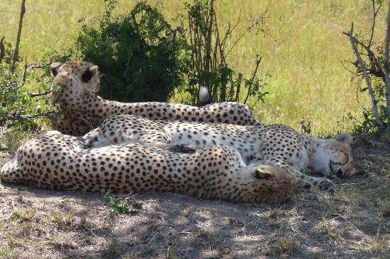 Serengeti Bushtops Camp: Cheetah! And lots of other wild animals seen on the early morning game drive