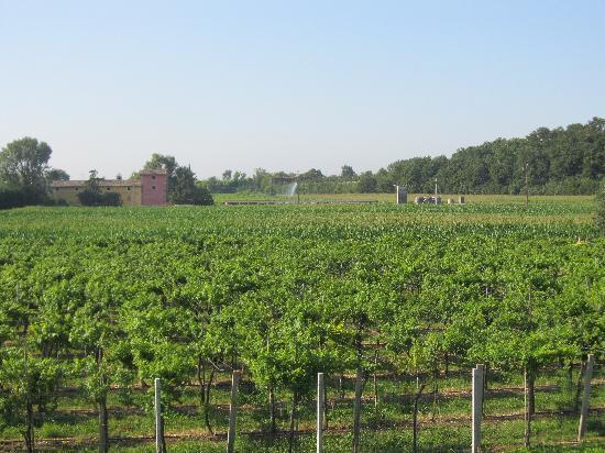 Agriturismo ai Ciliegi: Vista de los viñedos