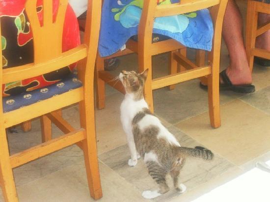 El Mouradi Djerba Menzel: chat arpentant le restaurant l'Olivier en quête de nourriture