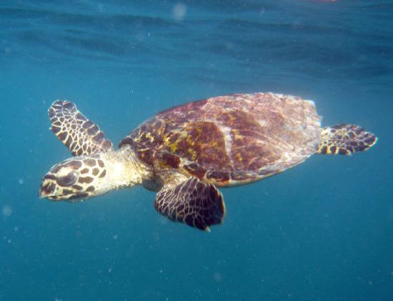 Maafushivaru: elusive turtle