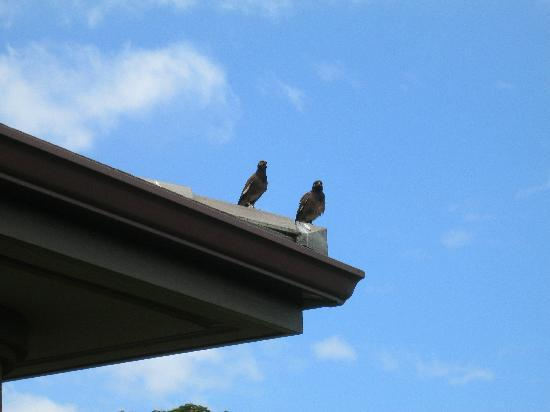 Ho'olei at Grand Wailea: Our myna birds that came every day