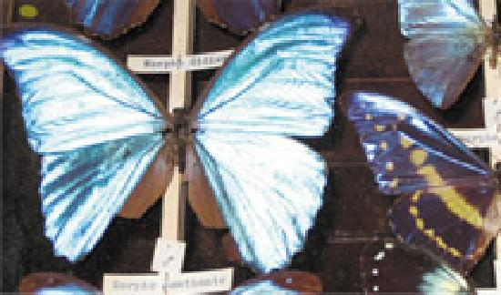 Ilfracombe Museum: Butterfly specimens from around the world
