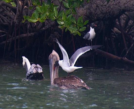 Tarpon Caye Belize: hey bud, give me a beak