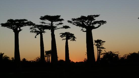 Avenue of the Baobabs: Au coucher du soleil