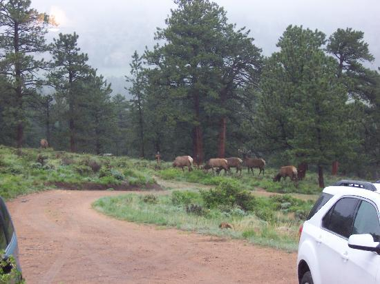 Machin's Cottages in the Pines: Elk grazing, as seen from the living room window in the cottage