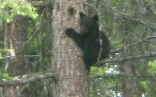 Beaver Guest Ranch: Helmcken Falls, Bärin mit Baby