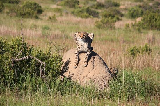 Kichaka Luxury Game Lodge: Cheetahs!