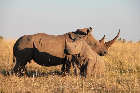 Kichaka Luxury Game Lodge: Mom & son rhinos