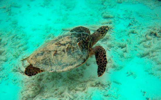 Filitheyo Island Resort: des tortues biensur