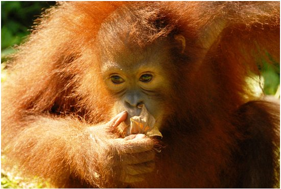 Sabah, Malasia: Provided by Sepilok Orangutan Rehabilitation Centre
