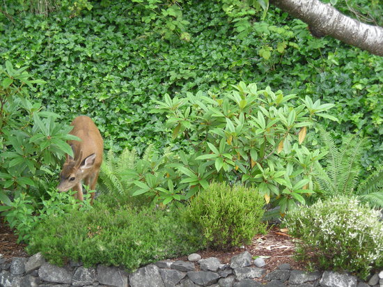 Port Townsend, WA: A visitor to the garden