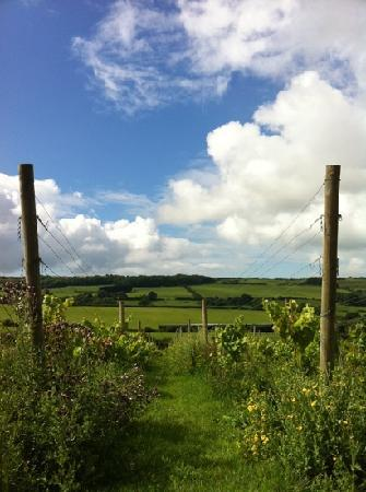 """The Purbeck Vineyard : the back """"garden"""""""