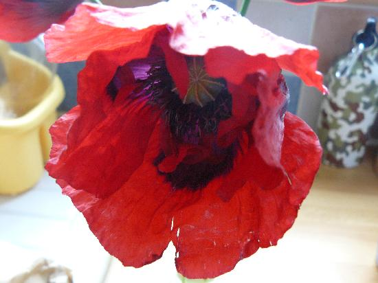 Hollyhock House: The walk to Sheringham passes Beeston Hill which is covered in poppies in late spring.