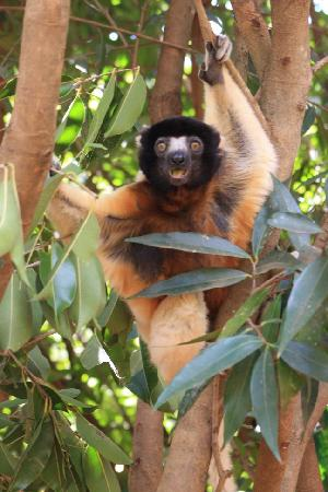 Parque del Lemur: a sifaka, cant tell you species..