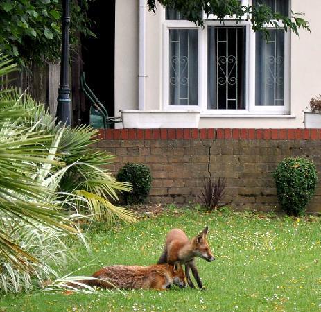 Leigham Court Hotel: fox