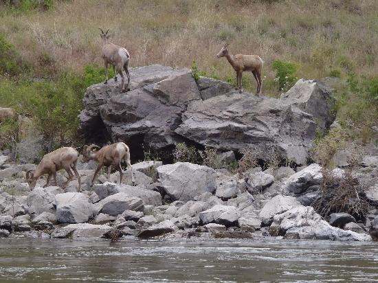 Hells Canyon National Recreation Area: Bighorn sheep