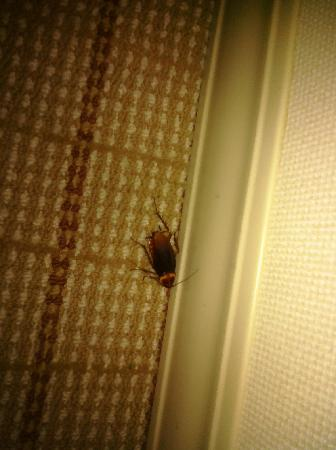 Sheraton Raleigh Hotel: COCKROACH in my room