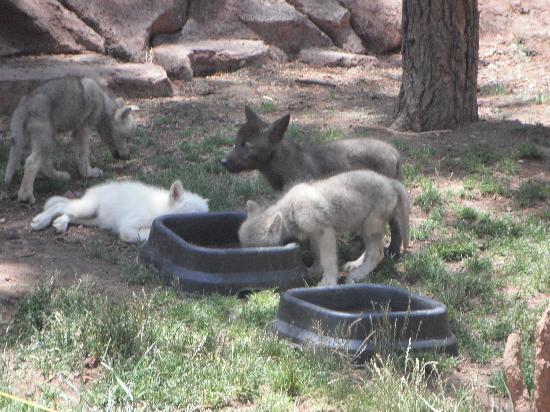 Bearizona Wildlife Park: baby wolves