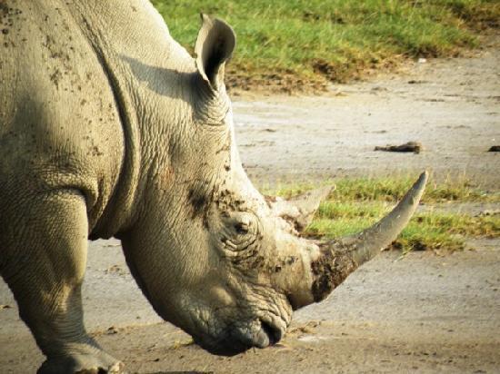 rinoceronte bianco in2kenya