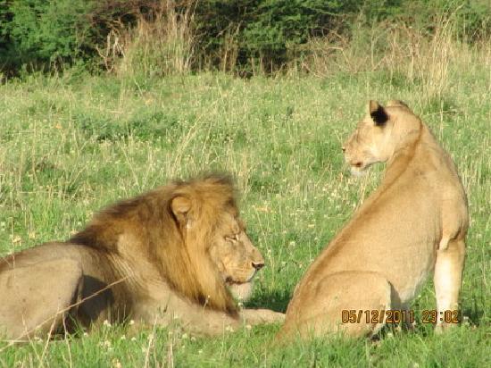 Кампала, Уганда: LIONS in MURCHISON FALLS