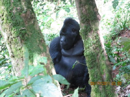 Kampala, Oeganda: GORILLA IN BWINDI