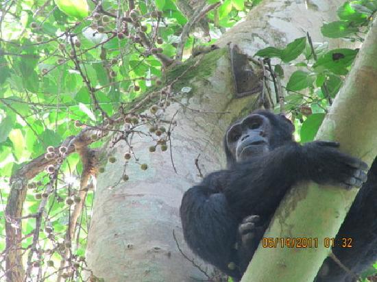 Kampala, Uganda: CHIMP AT KIBALE