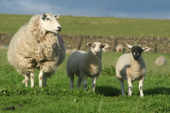 Common Barn Farm: Sheep!
