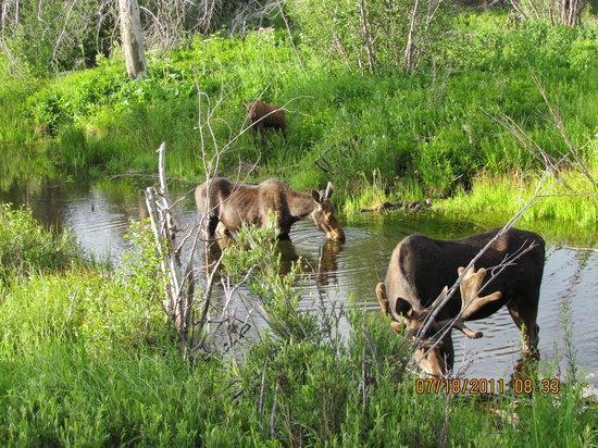 Paul Martin's Photo Safaris -Tours: Moose (calf, cow & bull)