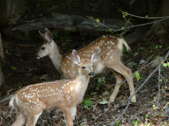 River's Edge Resort: 2 deer families with twins visited every day!