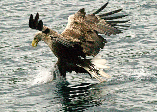 Salen, UK: Sea Eagle