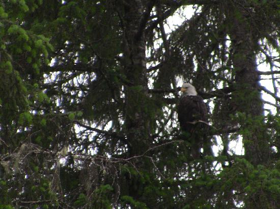 Bear Creek Cabins: The bald eagle
