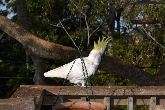 Tamborine Mountain Bed & Breakfast: One of many birds that come to sit in the tree while we had breakfast